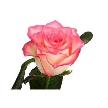 Роза двухцветная Джамилия