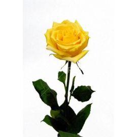 Желтая роза Пенни лейн