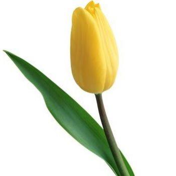 Тюльпаны голландские поштучно