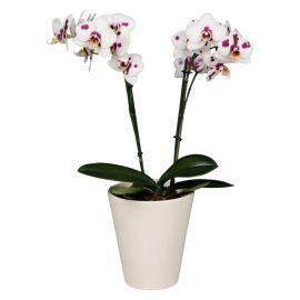 Орхидея Phalaenopsis Granada - 2 ветки
