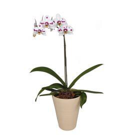 Орхидея Phalaenopsis Granada - 1 ветка