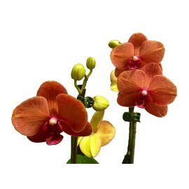 Орхидея Phalaenopsis Ancona - 1 ветка