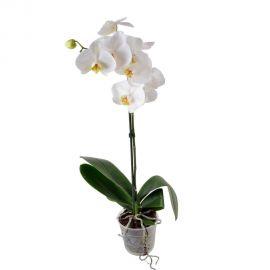 Орхидея Phalaenopsis Winnipeg - 1 ветка