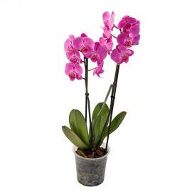 Орхидея Phalaenopsis Montevideo - 2 ветки