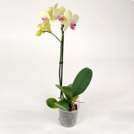Орхидея Phalaenopsis Porto - 1 ветка