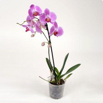 Орхидея Phalaenopsis Sarasota - 1 ветка