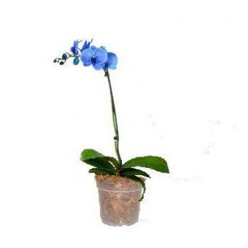 Орхидея Phalaenopsis Royal Blue - 1 ветка