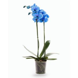 Орхидея Phalaenopsis Royal Blue - 2 ветки