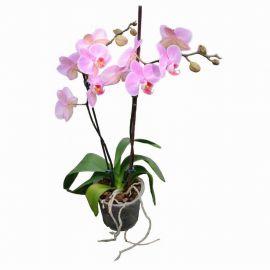 Орхидея Phalaenopsis Charleston - 2 ветки