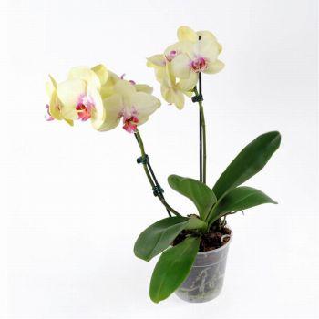 Орхидея Phalaenopsis Porto - 2 ветки