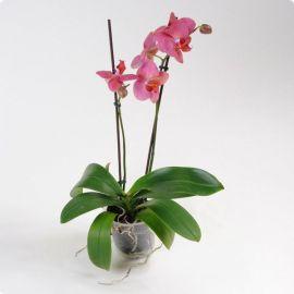 Орхидея Phalaenopsis Roseo - 2 ветки