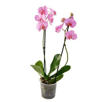 Орхидея Phalaenopsis Sarasota - 2 ветки