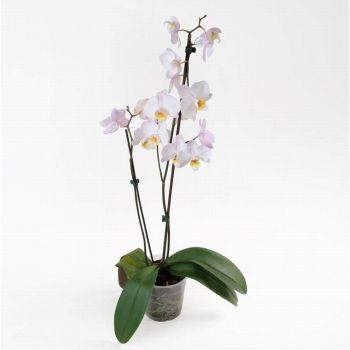 Орхидея Phalaenopsis Winnipeg - 2 ветки