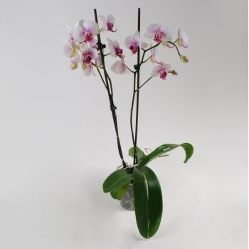Орхидея Phalaenopsis Havana - 2 ветки