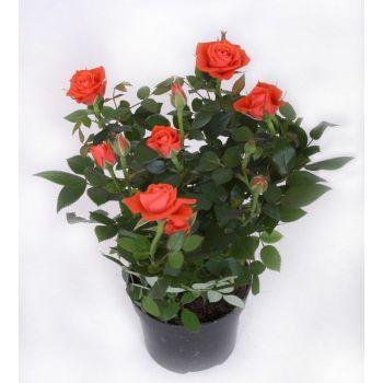 Роза в горшке комнатная