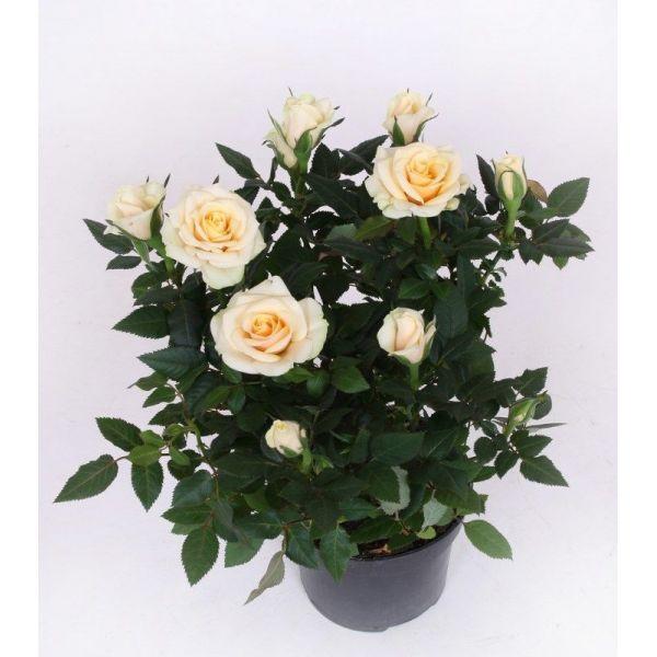 Купить цветок в горшке харьков
