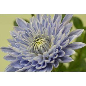 Генетики создали первую синюю хризантему